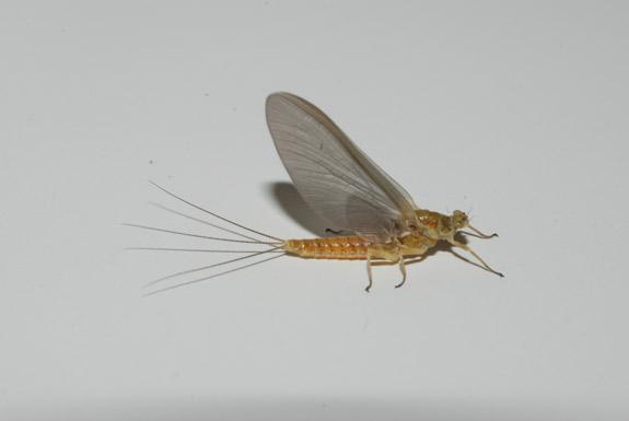 sulphur-mayfly